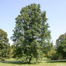 Oak Tree Size Chart Pin Oak Tree On The Tree Guide At Arborday Org