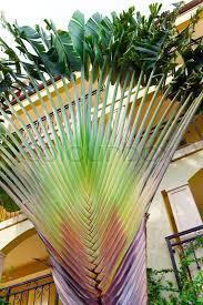 fan palm trees. fan palm trees