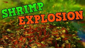 Neocaridina Shrimp Tanks Cherry Shrimp And Blue Dream