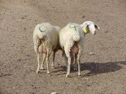 Imagini pentru poze cu două oi