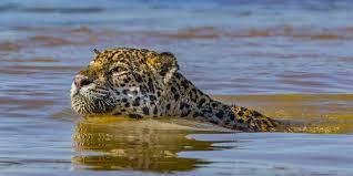 Nat Geo Wild: 'Jaguar vs. Croc' is a battle between two predators