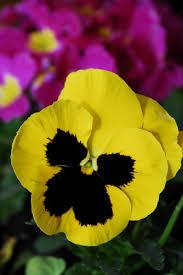 Risultati immagini per panse fiore