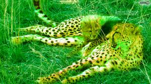 cheetah wallpaper pictures