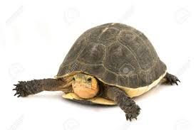 Chinese Box Turtle Cuora Flavomarginata