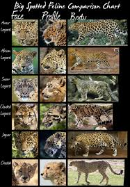 Wild Cats Species Comparison Chart Larger Spotted Cats By