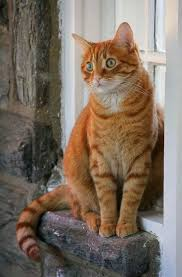 1231 Best Lovely Cats Images On Pinterest Siamese Lynx And 8