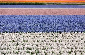 Gratis Afbeeldingen Fabriek Wit Veld Bloem Tulp Gewas Blauw