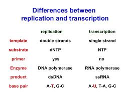 Translation Vs Transcription Venn Diagram Dna Replication And Transcription Venn Diagram Major