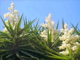 flower of izote el salvador