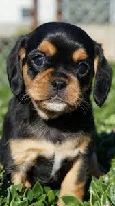 black and brown puggle. Perfect Brown Whatu0027s Brown Black U0026amp Cute All Over To Black And Brown Puggle