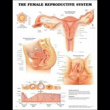 The Female Reproductive System Ob Anatomy Poster