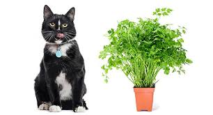 can cats eat parsley is parsley safe