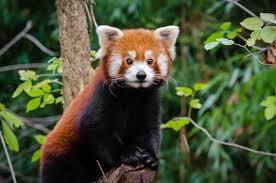 Red Panda Facts for Kids | Red Pandas | Cute Red Panda Photos