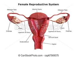 Female Reproductive System Chart Female Reproductive System Internal View Of The Uterus With Cross Section