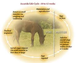 Foal Care Deworming