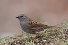 Image result for dunnock