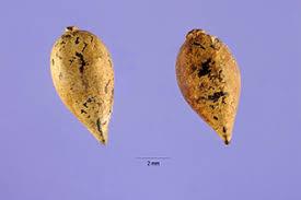 Plants Profile for Daphne laureola (spurgelaurel)
