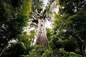 Afbeeldingsresultaat voor kauri boom nieuw zeeland