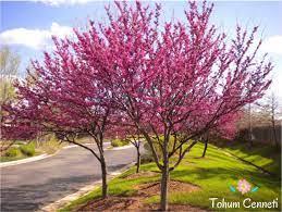 TohumCenneti | Erguvan Ağacı Tohumu