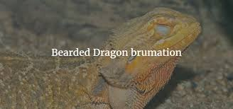 what months do bearded dragons brumate how to help your bearded dragon to brumate brumation and uv lighting