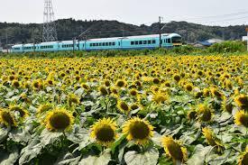 千葉 県 ひまわり 畑