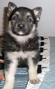 black and silver german shepherd. Contemporary And 5 Week Old Black And Silver German Shepherd  In Black And Silver German Shepherd