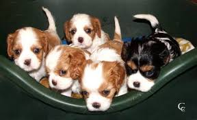beautiful particolor puppies tricolor and blenheim