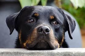 rottweiler dog mean. rottweiler names dog mean 1