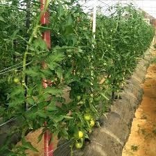 indoor tomato garden. Ohio Gardening Tips Indoor Tomato Plants At Farms Wow State University Garden