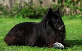 black belgian shepherd groenendael image