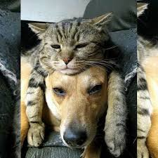 cats n dogs kittens n puppies cat on dog head