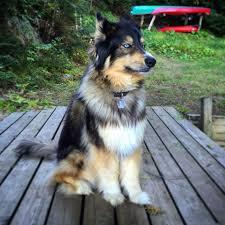 bernese mountain dog mix. Delighful Mountain The Beautiful Zeva Husky Mixed With Bernese Mountain Dog Sheu0027s Perfect  Dog Huskymix Bernesemix Stunning On Bernese Mountain Dog Mix A