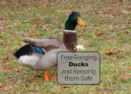 free range ducks pros and cons timber