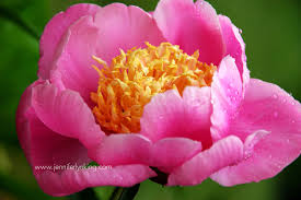 jennifer lyn king s 20 favorite flowers to plant in spring march