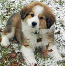 bernese mountain dog mix.  Mix PyreneeseBernese Mix A Fluff Ball Of Happiness Loving This One Is A  Nobrainer Of Course I Love Them All To Bernese Mountain Dog Mix