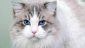 lovely blue eye ragdoll cat pic