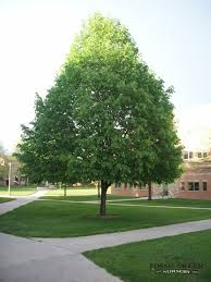 Small Picture 22 best Trees images on Pinterest Deciduous trees Garden ideas