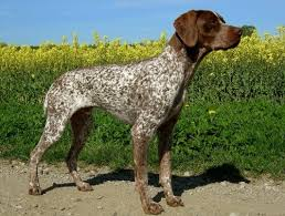 German Shorthaired Pointer Puppy Weight Chart Growth French Shorthaired Pointer Puppy Weight Chart