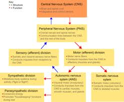 Cns Pns Chart Classification Of Peripheral Nerves Wikipedia
