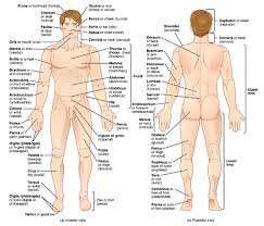 anatomy and physiology charts   aof c atomy and physiology diagram outlining anatomical terms and
