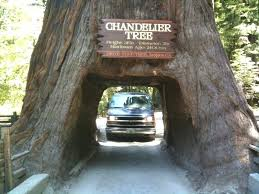 chandelier tree california the chandelier tree is a foot m tall coast redwood tree in with chandelier tree california