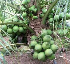 Philippine Coconut Tree  Google Search  The Philippines Hybrid Fruit Trees For Sale
