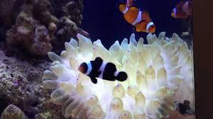 black and orange clown fish. Perfect Clown Black And Orange Clownfish Hosting Bubble Tip Anemone Throughout And Clown Fish N