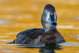 12 Different Types Of Ducks With Examples