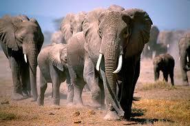 Bildergebnis für Elefanten