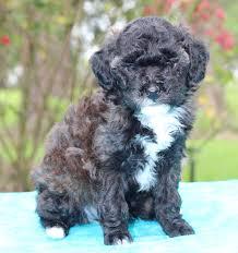 view breeder profile poodle toy dog breeder near louisiana gray usa subs 10785