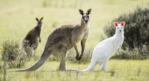 Image result for kangaroos