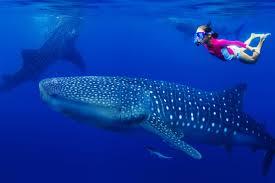 Resultado de imagen para Tiburones ballena
