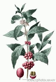 coffee bean plant illustration. Perfect Coffee Botanical Illustration Of The Coffee Plant Coffee Arabica Throughout Bean Plant Illustration O