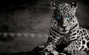 black tiger with blue eyes wallpaper. Beautiful Tiger White Tiger With Blue Eyes Wallpaper 3D  Wallpapers Gallery To Black Cave